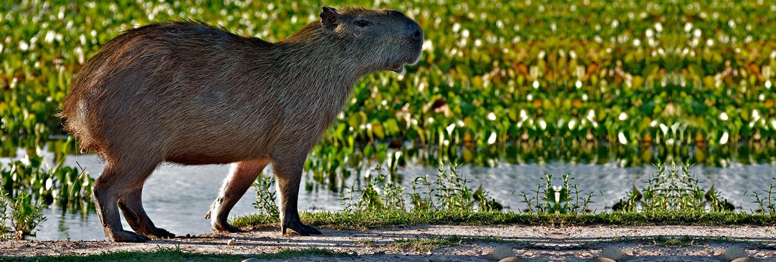 Capibara en Los Llanos venezolanos